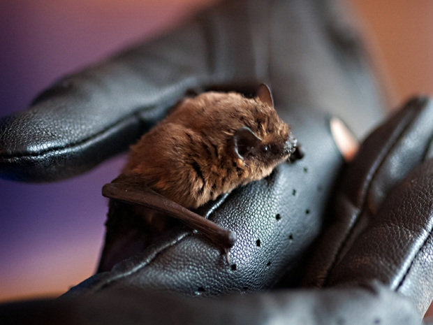 Pipistrelle bat sitting on Leigh's hand.  Leigh is wearing a black leather glove and the bats face is in profile.