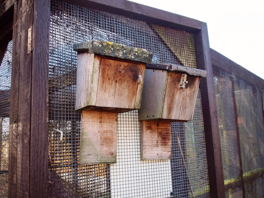 When the bats are ready for release, their whole box is moved outside, so they can return to their 'home' for food and shelter if they wish.